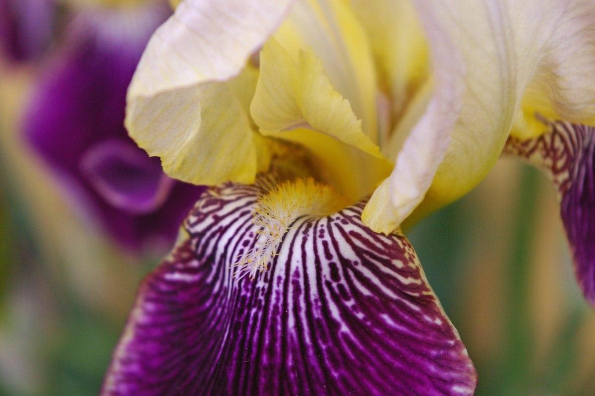 petal, nature, garden, summer time, iris flower, plant, blossom