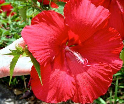 Градина, цвете, хибискус плодник, лято, венчелистче, природа, листа, растение