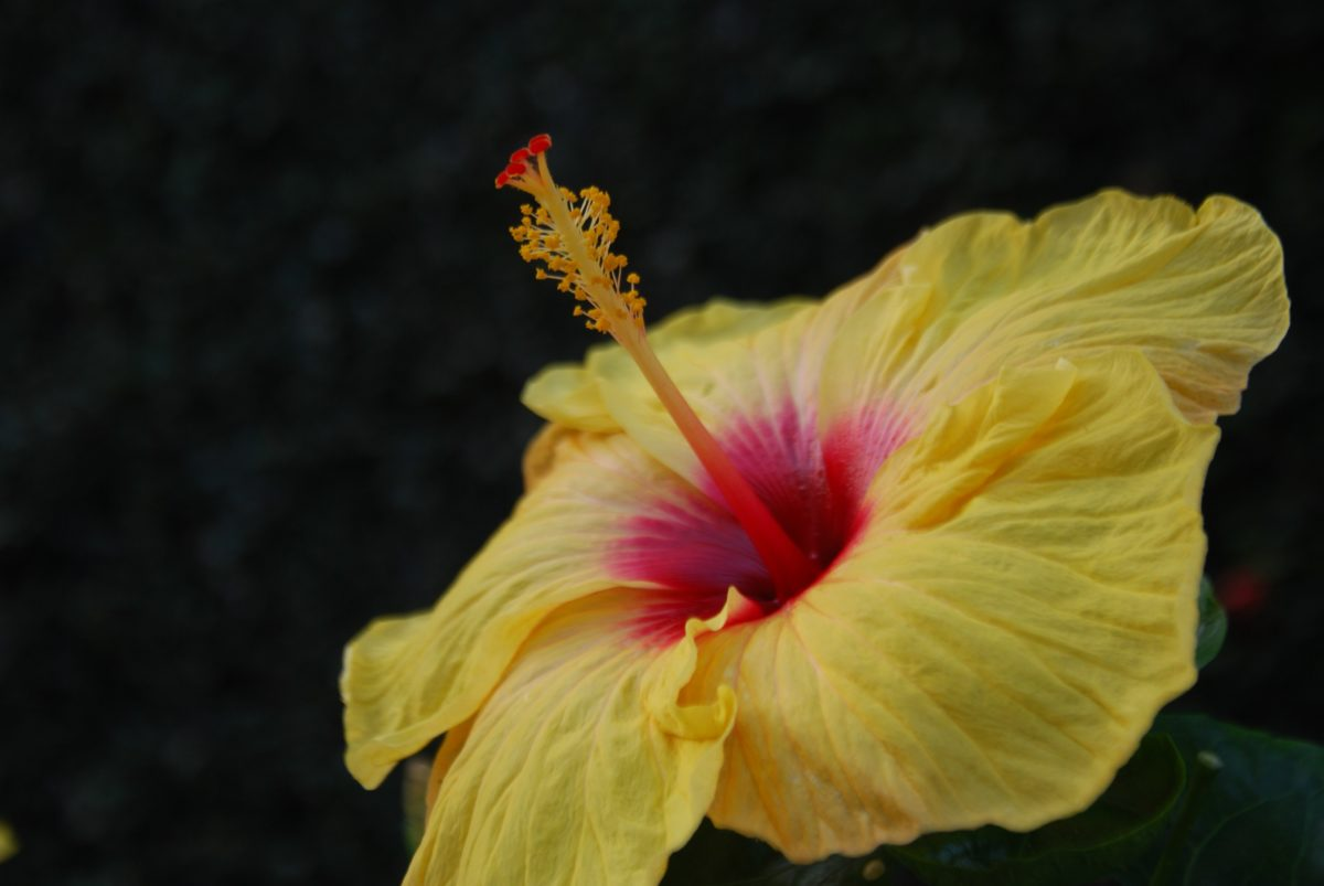 nature, hibiscus flower, leaf, plant, photo studio, blossom, garden, petal