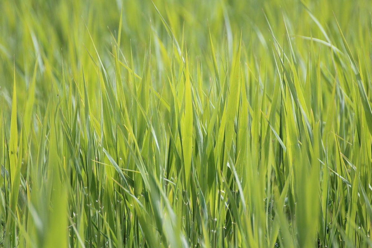léto, pole, příroda, zelená, rýžové pole, den, zemědělství