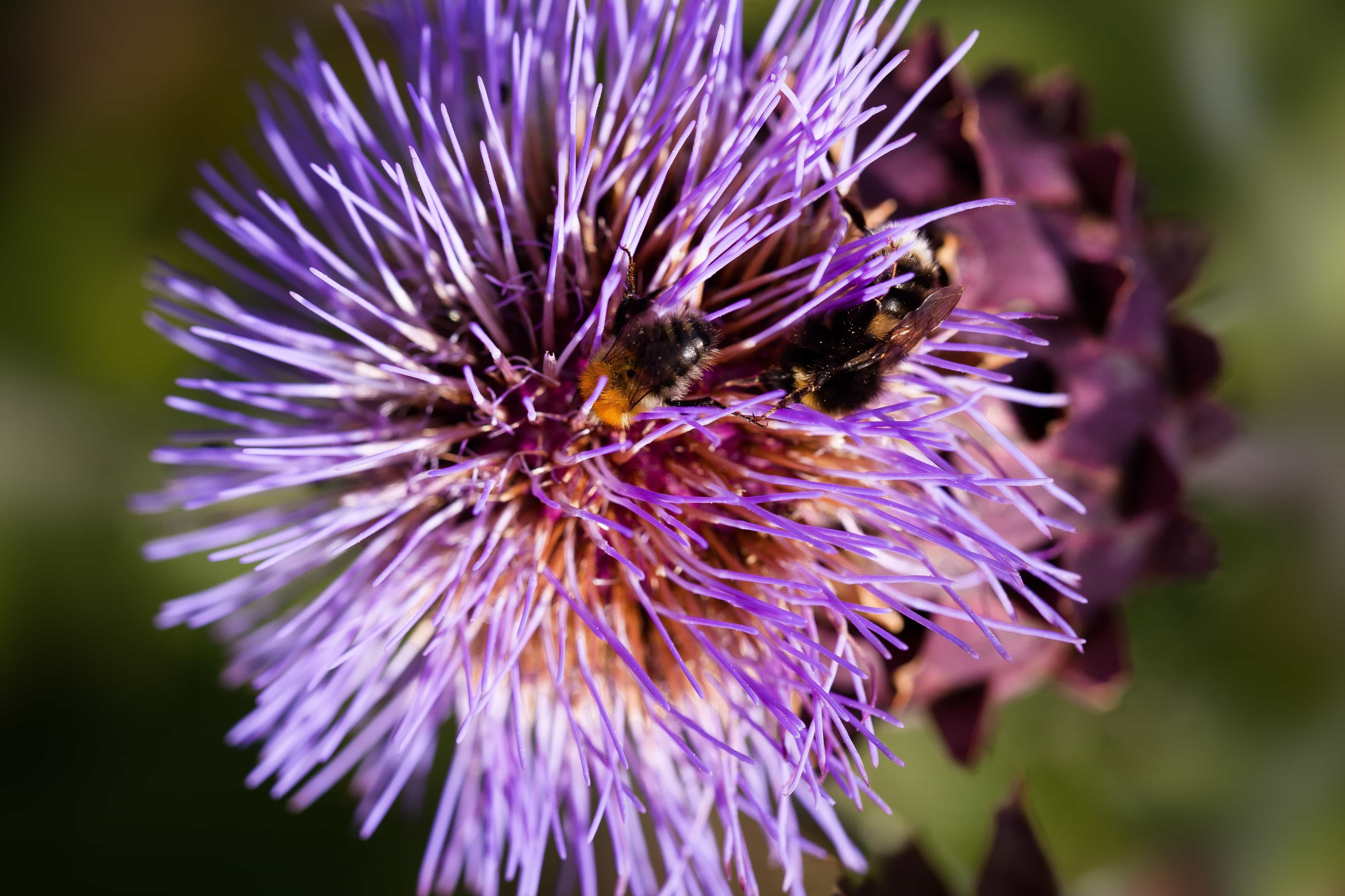 purple flower, nature, garden, daylight, day, herb, plant