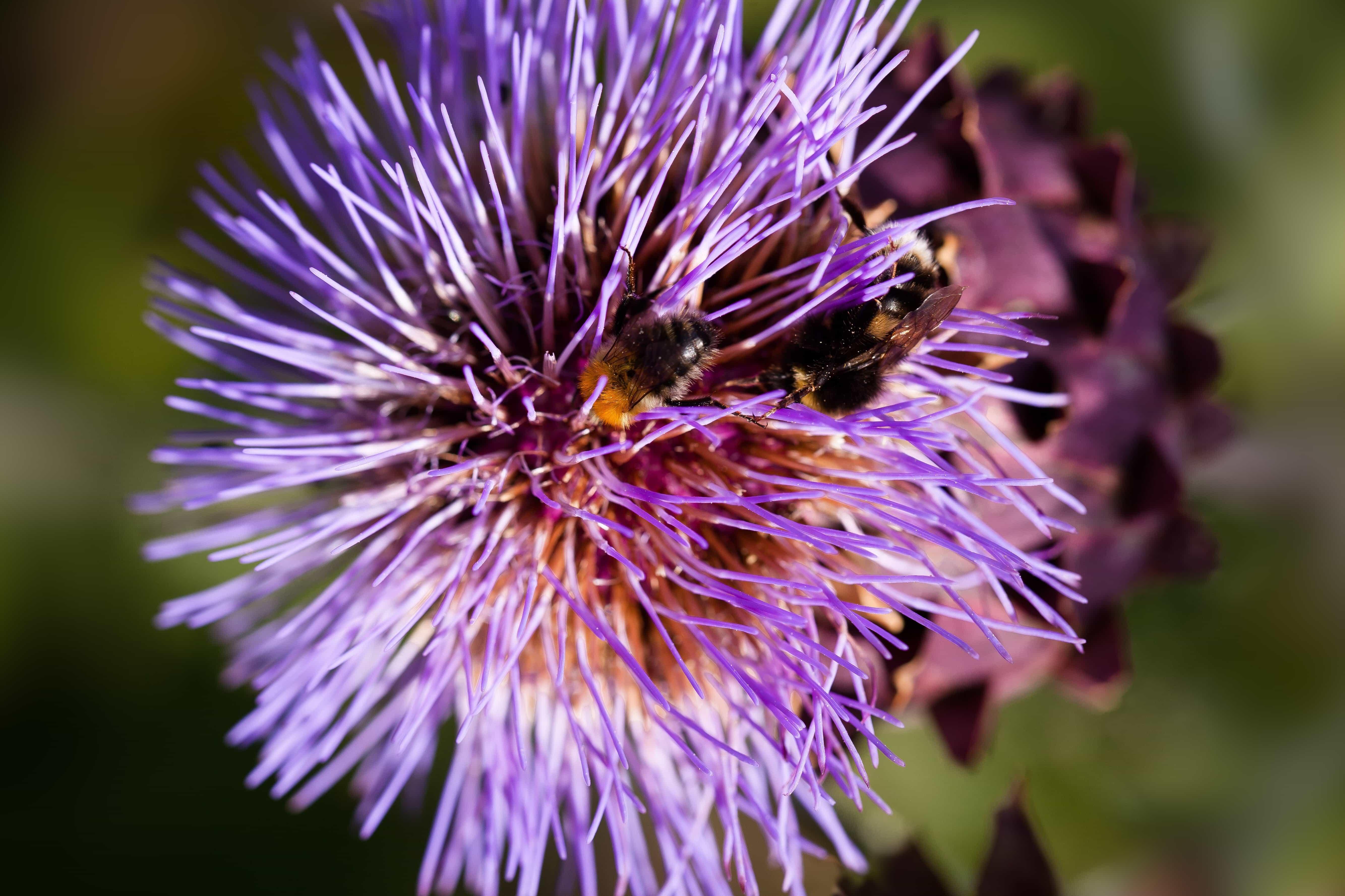 bunga ungu, alam, Taman, siang hari, hari, ramuan, tanaman