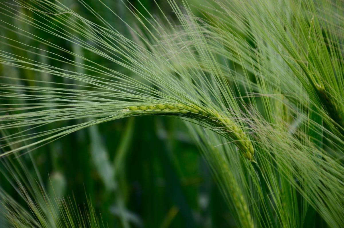 palha, natureza, semente, campo agricultural, verão, cereal, agricultura
