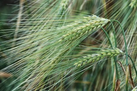 agriculture, cereal, nature, straw, seed, barley field, plant, summer
