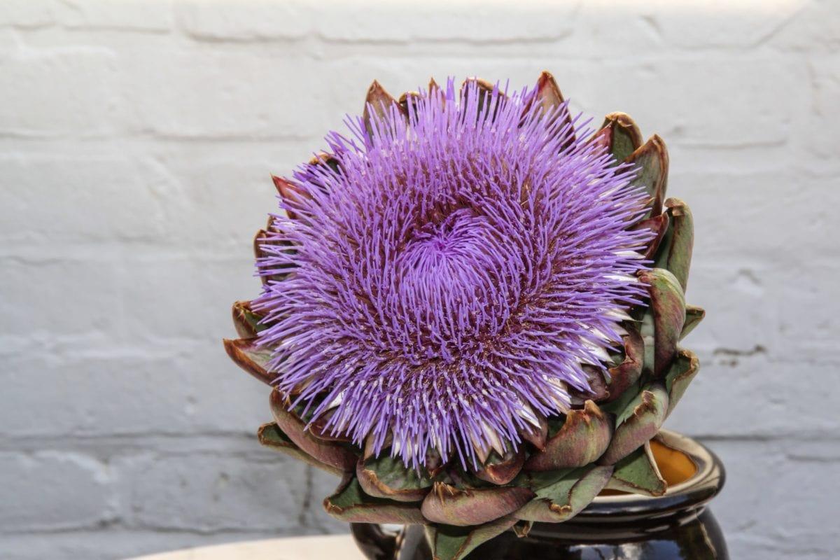blomst, artiskok, kaktus blomst, urt, hvid væg, dekoration