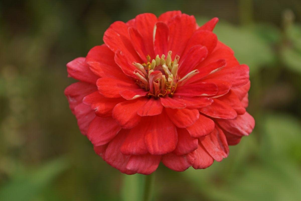 nature, garden, summer, petal, red flower, garden, blossom