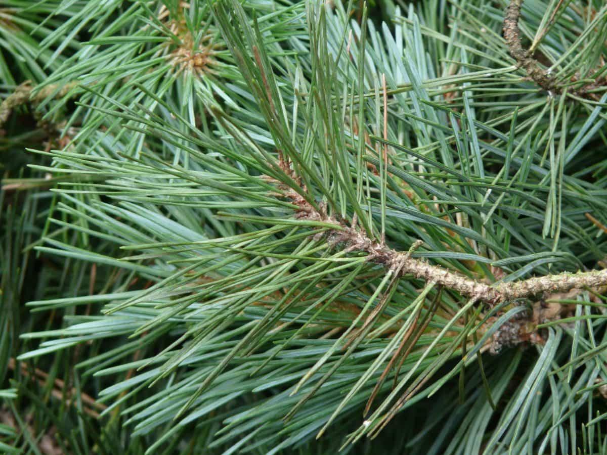 иглолистно дърво, клон, природа, вечнозелени, зелени листа, ден, бор, екология