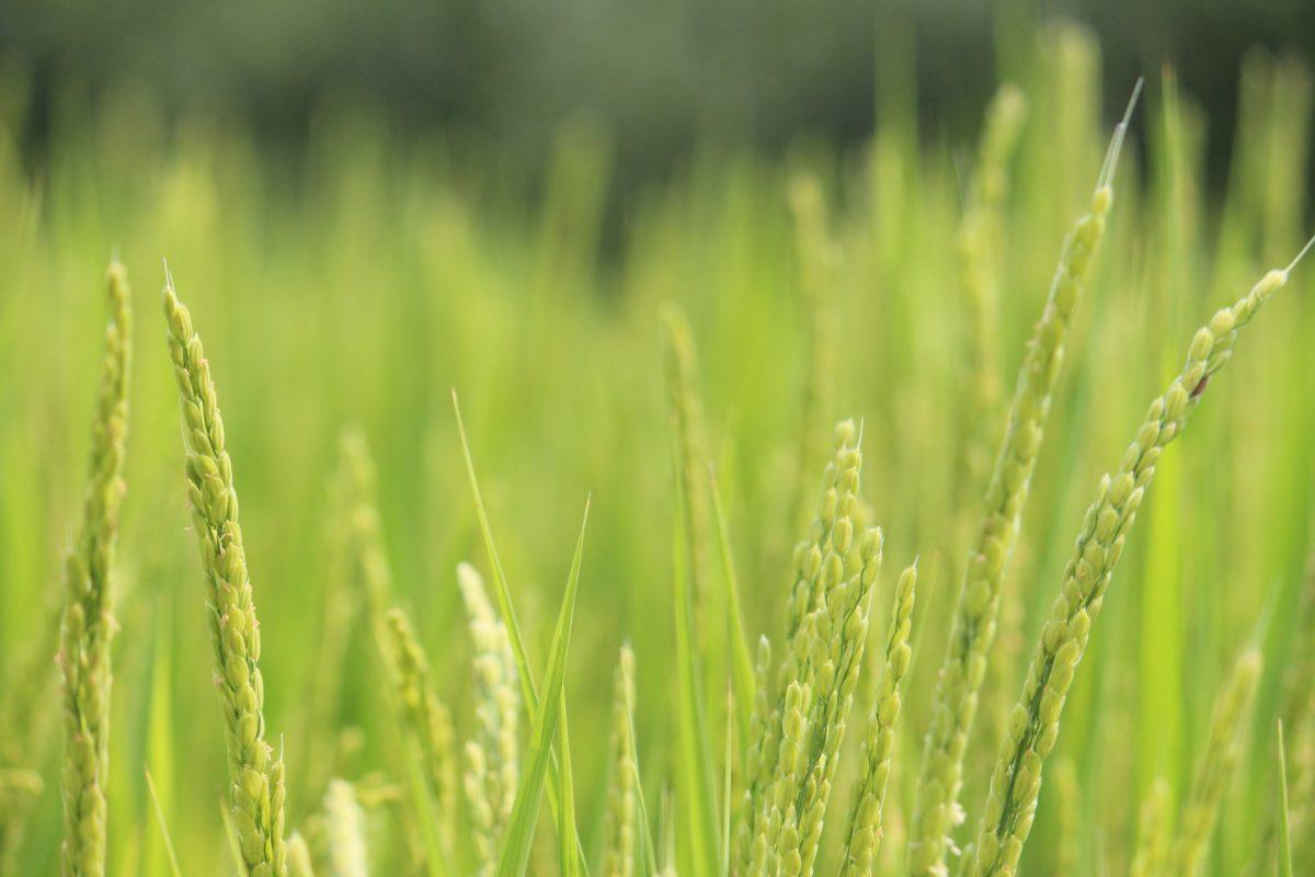 natur, gress, jordbruks felt, sol, dag, frokostblanding, ris felt, sommer