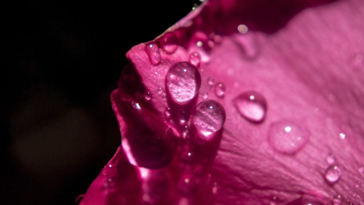 цвете, кондензация, красива, роса, венчелистче, влага, розово, растение