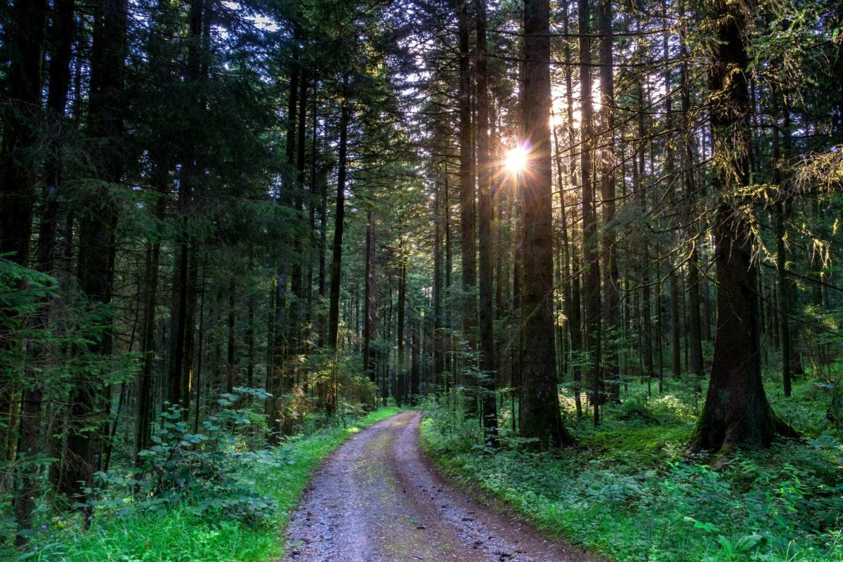 sunset, wood, nature, landscape, forest road, pine tree, outdoor