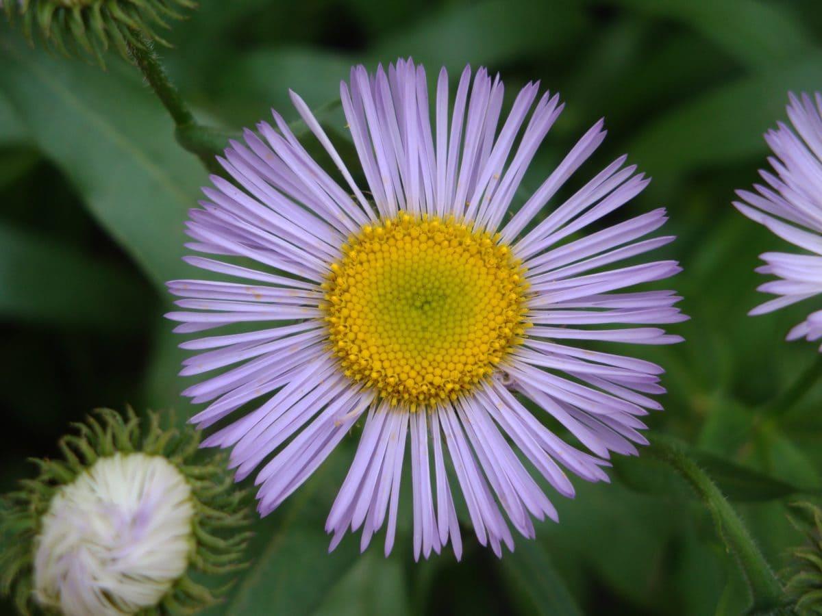 природа, Градина, стъбло, лилаво цвете, листо, лято, билка