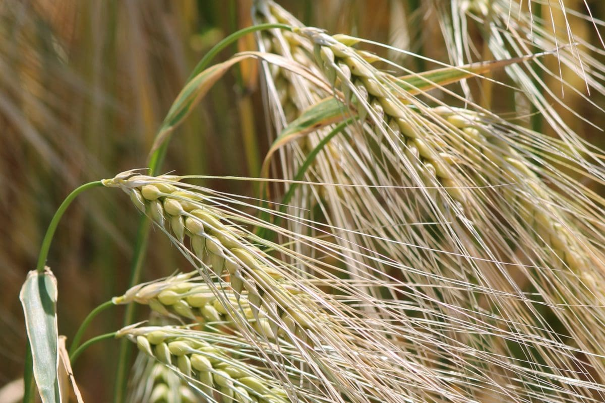 field, rye, barley field, agriculture, straw, seed, cereal
