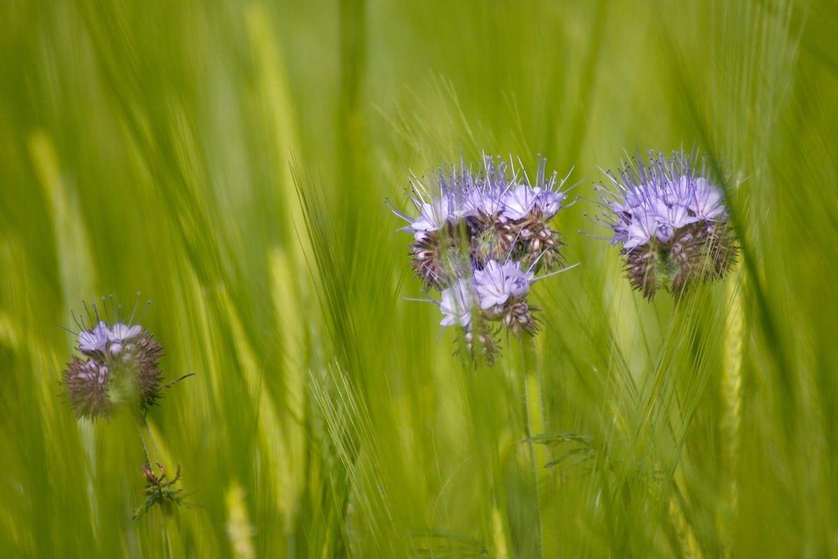поле, летен сезон, природа, зелена трева, екология, цвете, билка