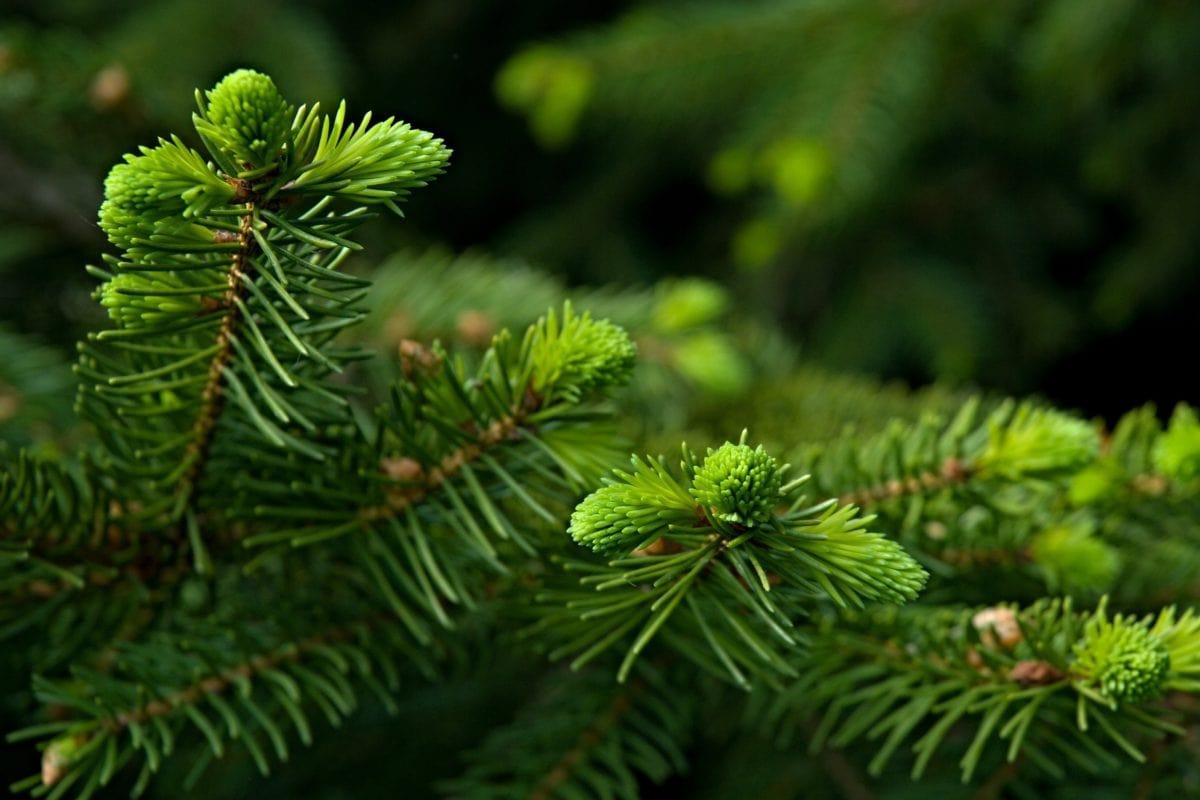 смърч, клон, вечнозелени, иглолистни клони, зима, бор, природа, дърво