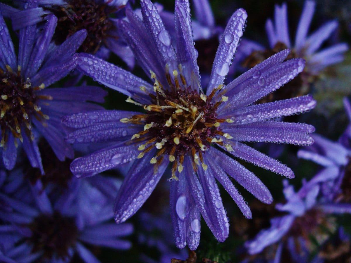 Płatek, purpurowy kwiat, lato, natura, ogród, ciemność, cień, ziele, roślina, kwiat