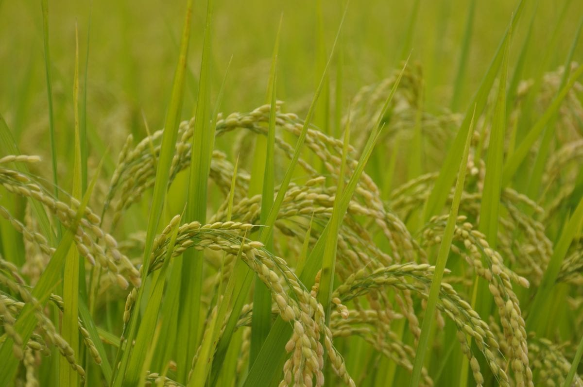 cereal, grass, rice field, food, plant, agriculture, summer