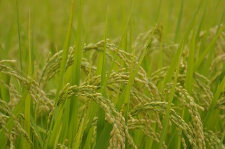谷物、草、稻田、食品、植物、农业、夏季