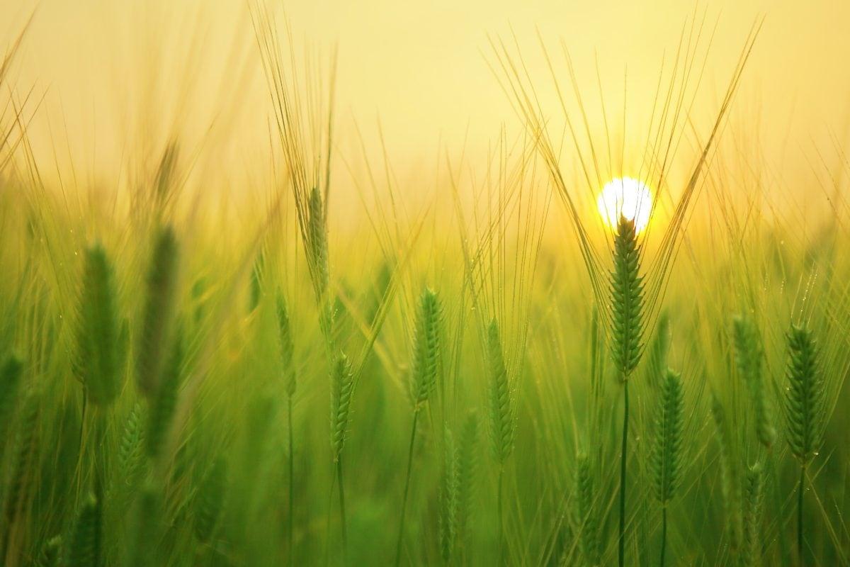 slunce, ječmen, obiloviny, pole, žito pole, osiva, obilovin, tráva, sláma