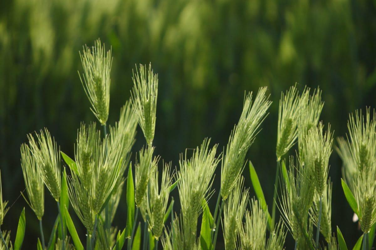 polní, obiloviny, zemědělství, tráva, rýžová pole, rostlina, léto, životní prostředí