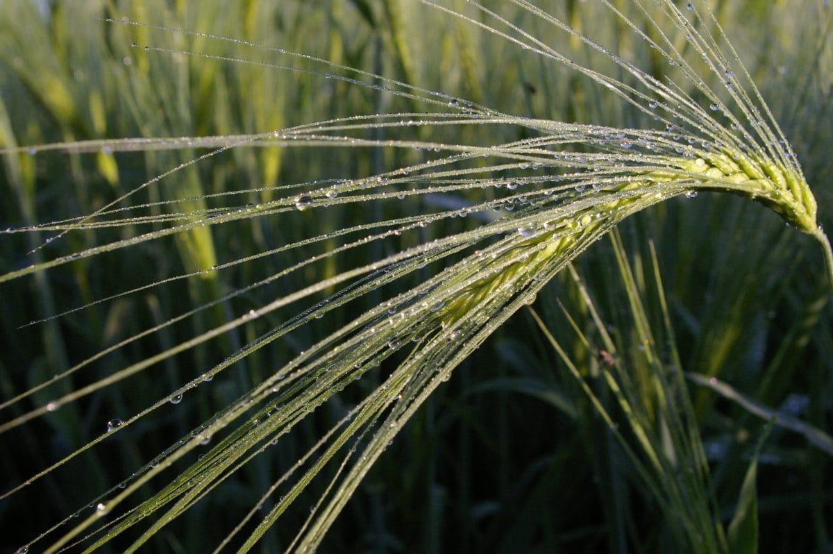 natur, jordbruk, gress, frokostblanding felt, bygg, dugg, fuktighet, regn, anlegg