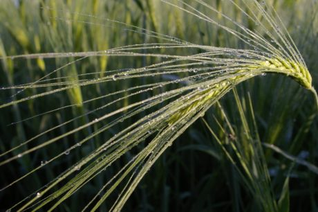 nature, agriculture, grass, cereal field, barley, dew, moisture, rain, plant