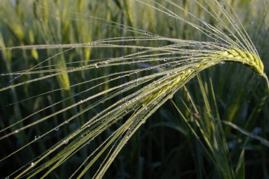 Natur, Landwirtschaft, Gras, Getreidefeld, Gerste, Tau, Feuchtigkeit, Regen, Pflanze