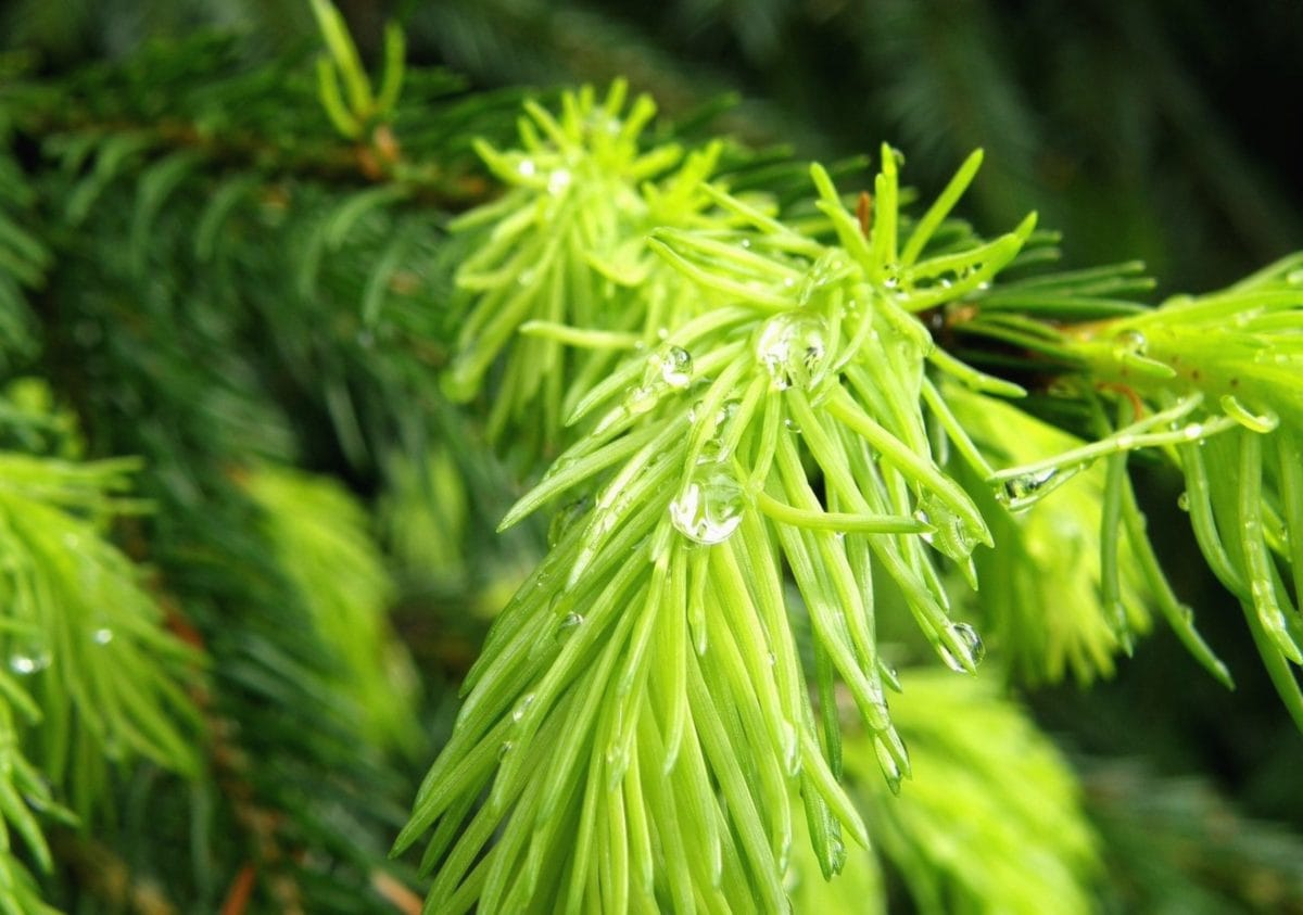 evergreen, conifer branch, nature, dew, moisture, rain, leaf, tree, plant, herb