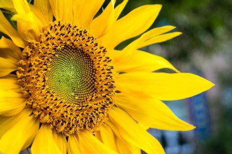 ヒマワリ、夏、細部、自然、花、植物、花弁、農業