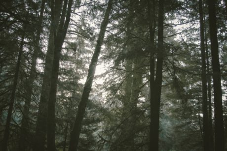 conifer forest, nature, dawn, landscape, mist, fog, sunlight, wood, tree