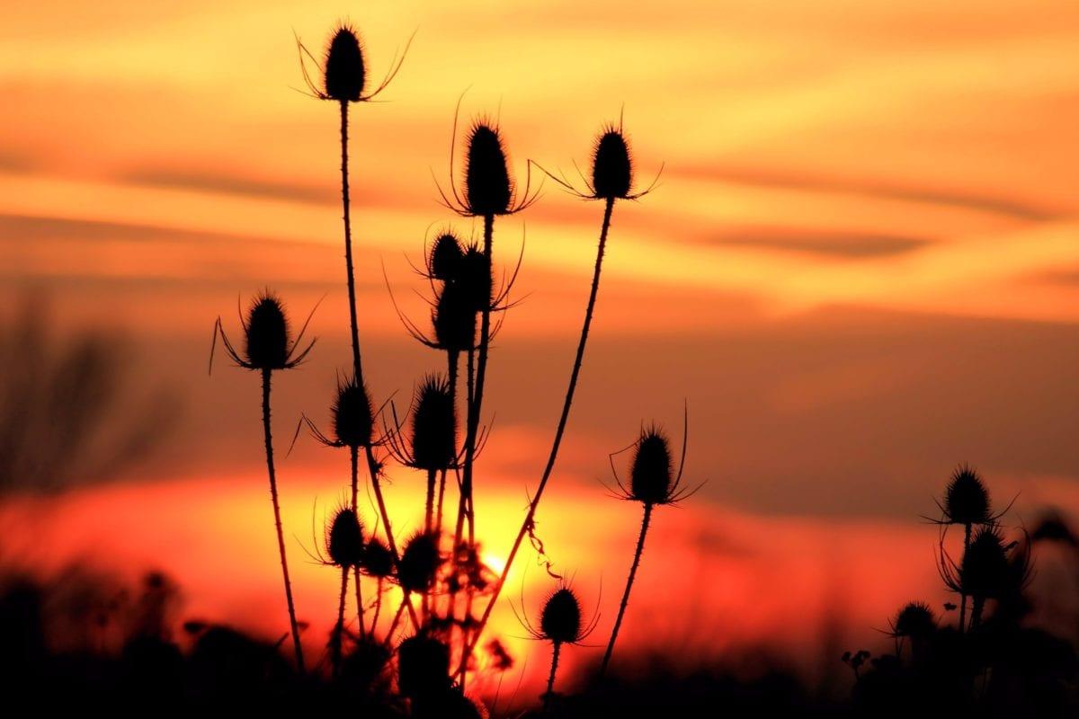 silhouet, droge distel, natuur, dageraad, zon, zonsondergang, schemering, milieu, buiten, hemel