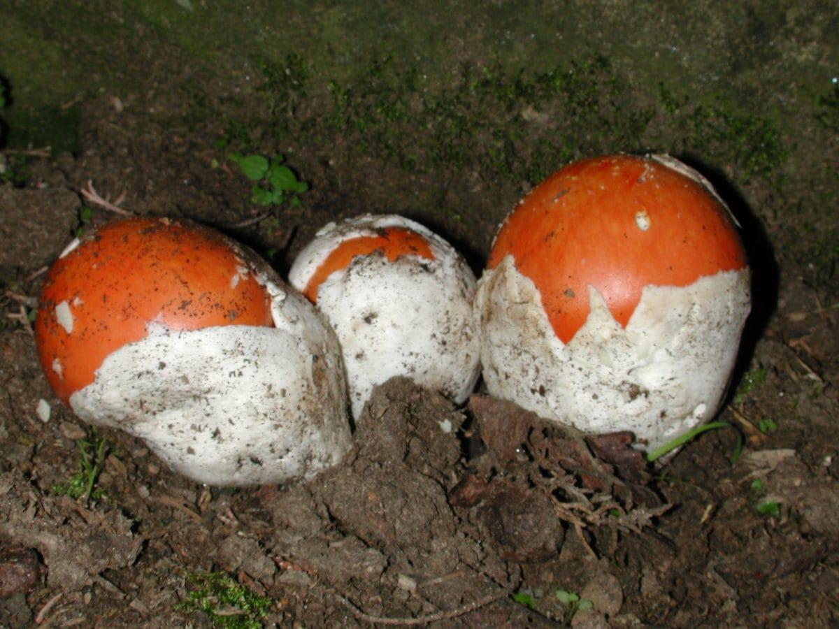 toxic red mushroom, danger, ecology, organism, spore, ground, outdoor