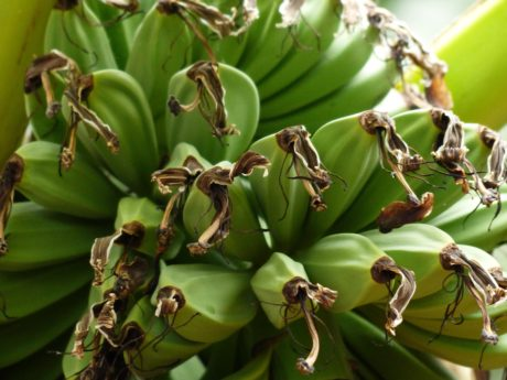 banana tree, food, fruit, plant, green, summer season, antioxidant, diet