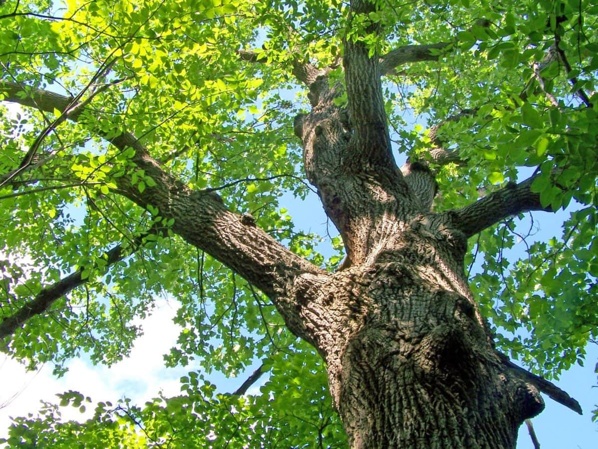 φύση, φύλλο, ξύλο, δρύινο δέντρο, δάσος, φλοιός δέντρων, φυτό, υποκατάστημα, Υπαίθριος