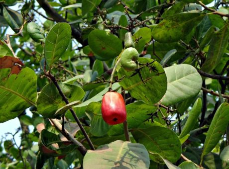 food, fruit, tree, leaf, agriculture, nature, exotic fruit, branch