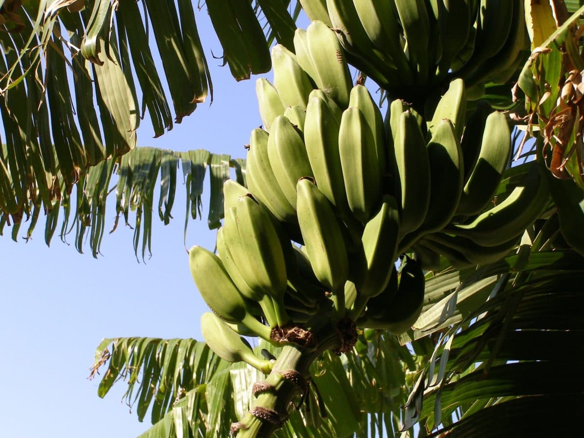 nature, banana tree, leaf, branch, tree, plant