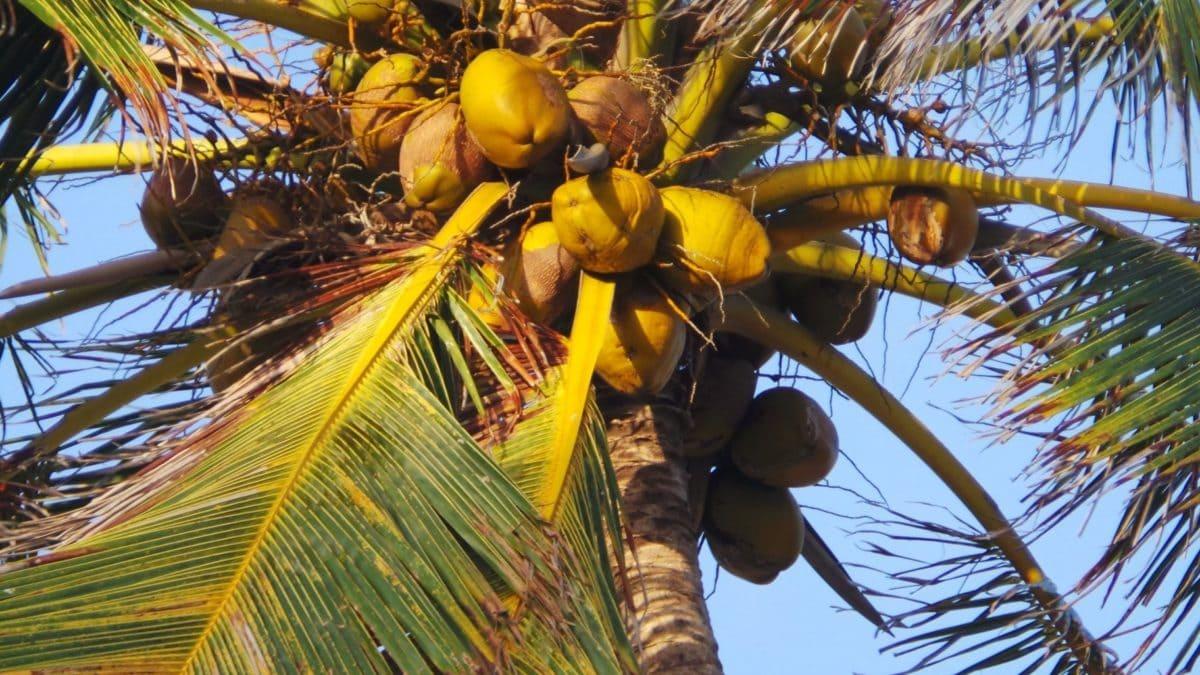 kesä, puu, ranta, taivas, luonto, palmu, eksoottinen, kookos, ulkona