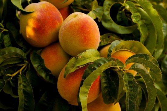 pêche, verger, branche, saison estivale, antioxydant, diète, repas, fruit, feuille, nourriture, vitamine