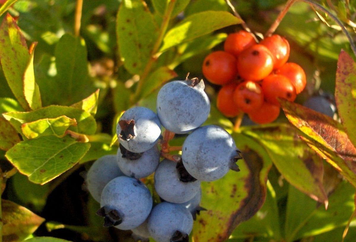 лято, храст, ягодоплодни, природа, клон, листа, храна, плодове, дърво, боровинки