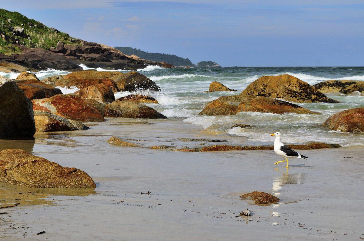 måge, dyr, fugl, dagslys, Ocean, hav, strand, vand, kysten, kyst, kystlinje, landskab