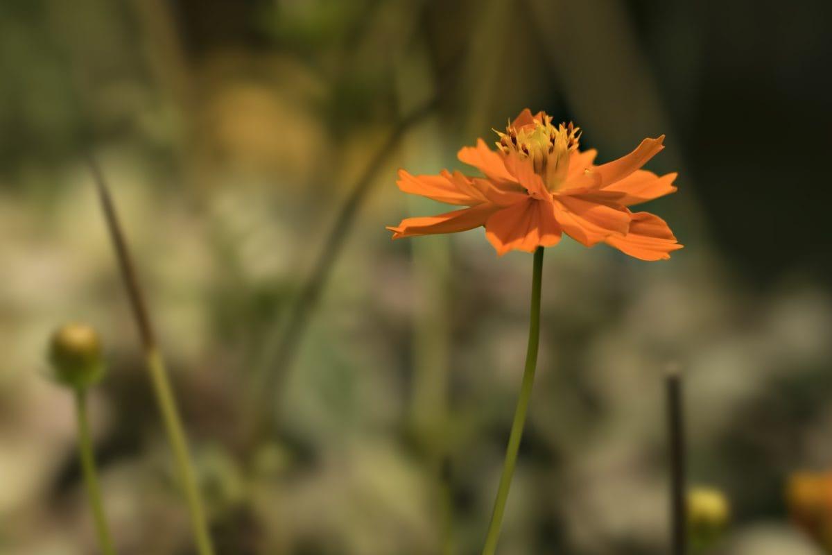 Blume, Sommersaison, Natur, Pflanze, Wildblume, Blütenblatt, Kraut, Blüte