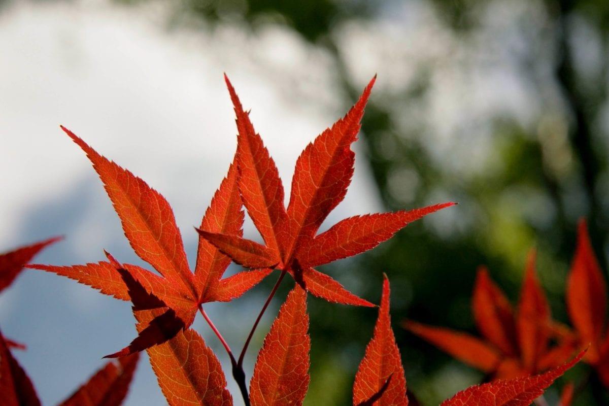 leaf, nature, red leaf, herb, branch, autumn season, ecology, shadow, daylight
