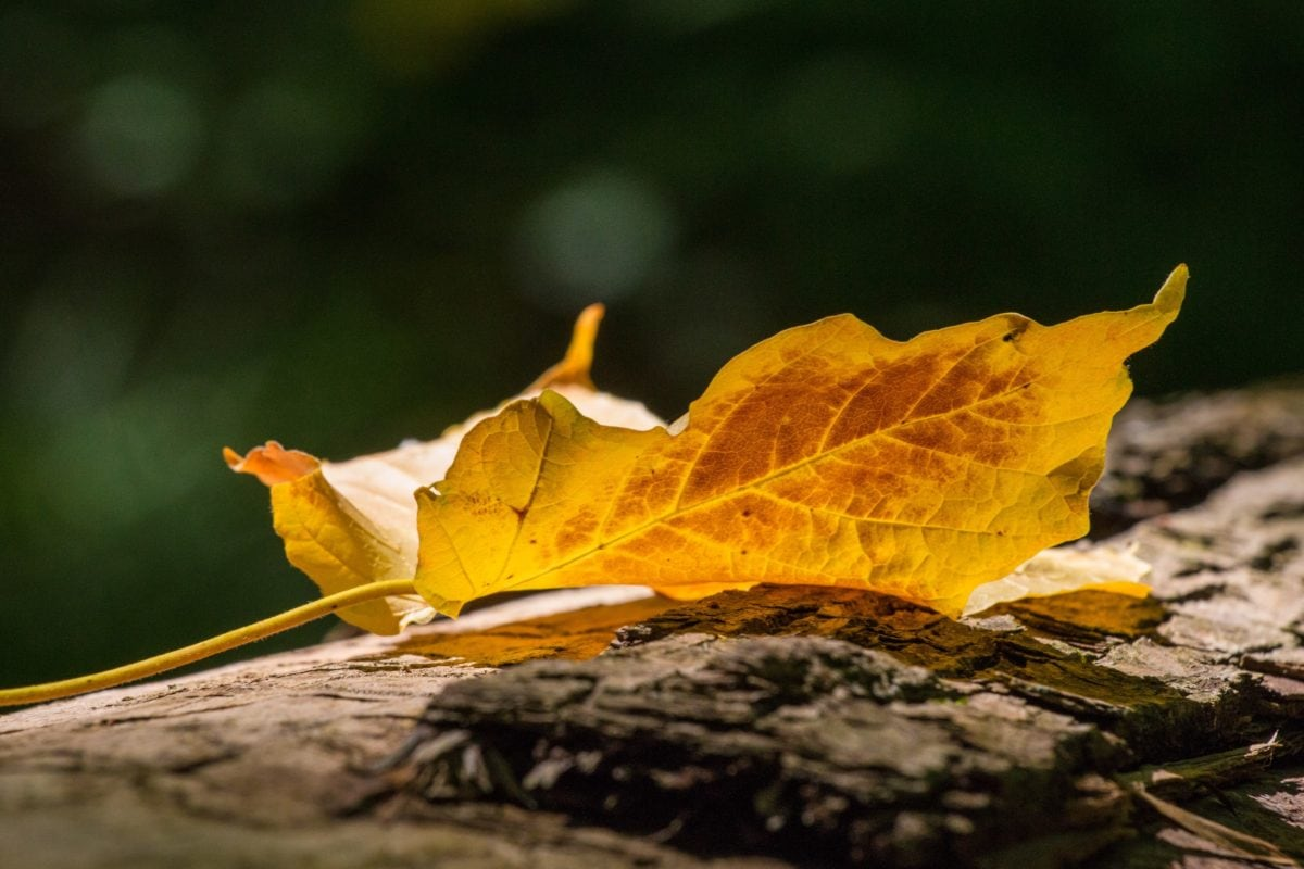 kuiva lehti, puu, luonto, syksy, auringon paiste, kuiva kausi, yrtti