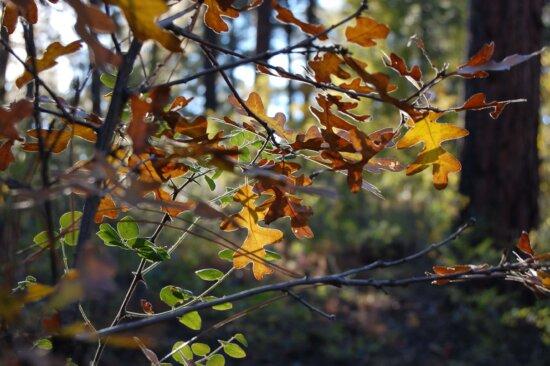 natur, ek blad, blomma, träd, gren, växt, höstsäsong, lövverk, träd bark