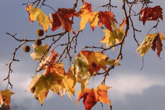 gren, gult löv, natur, höst, lövverk, skog, ek, växt, gren