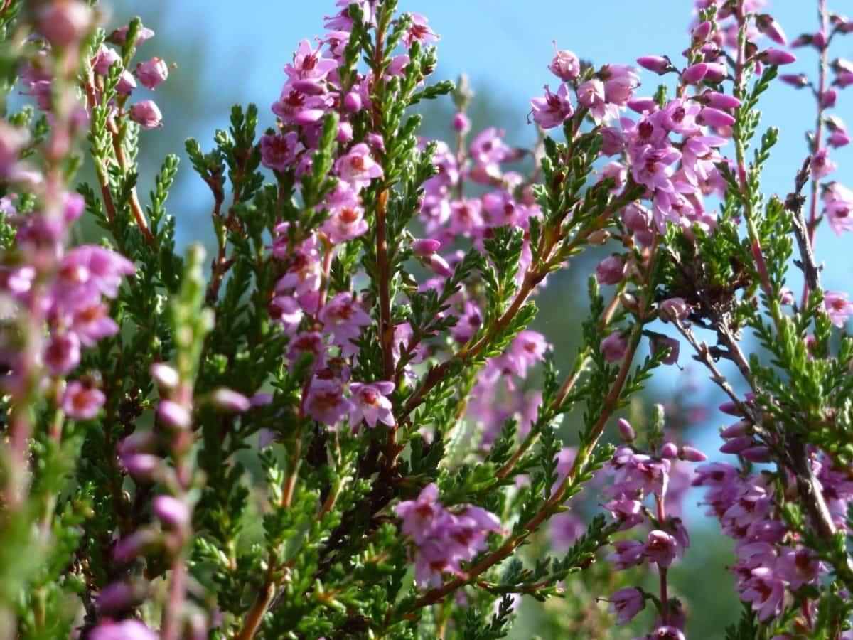 природа, Градина, листо, растителност, цвете, лято, Хийт, растение, розово