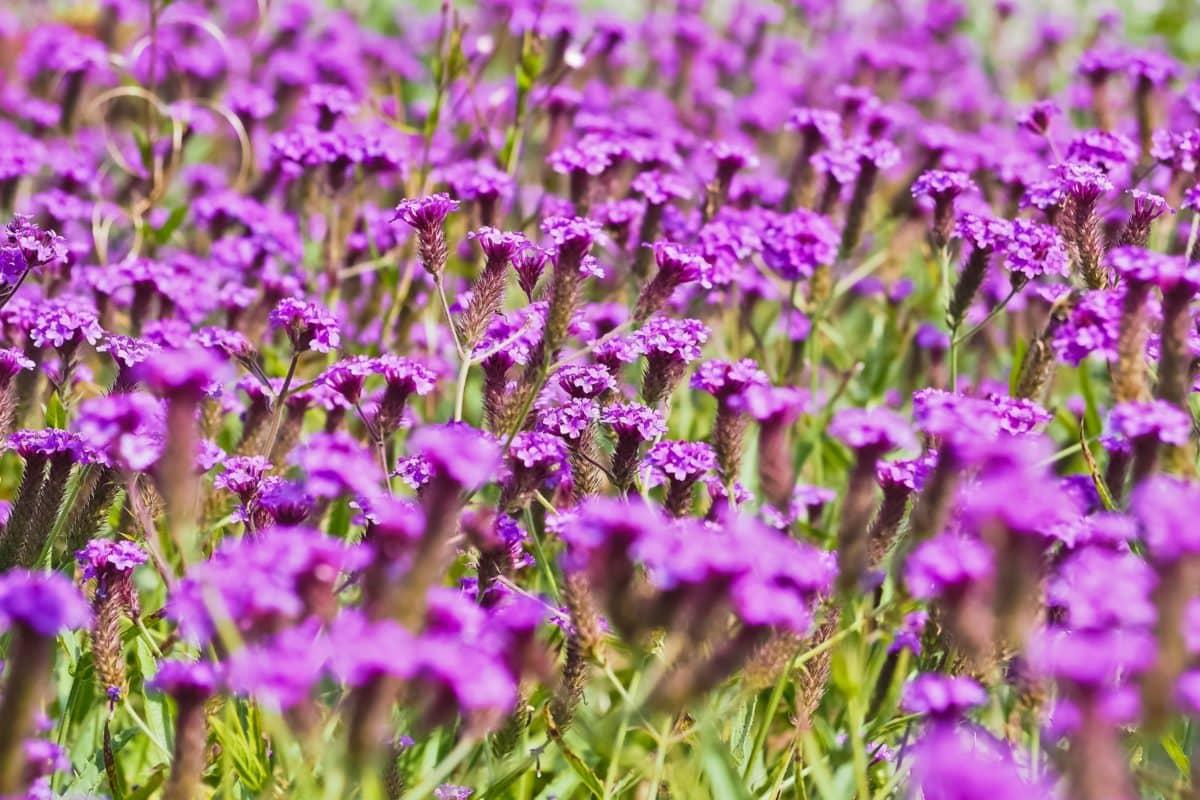 felt, lilla, sommer, natur, blomst, hage, Heath, anlegg