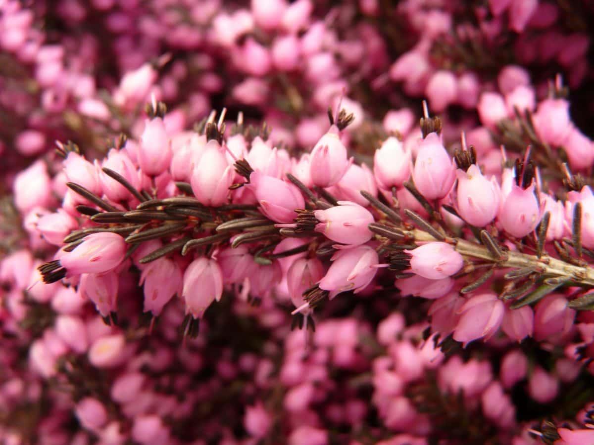 flower, garden, petal, nature, pink, heath, blossom, plant