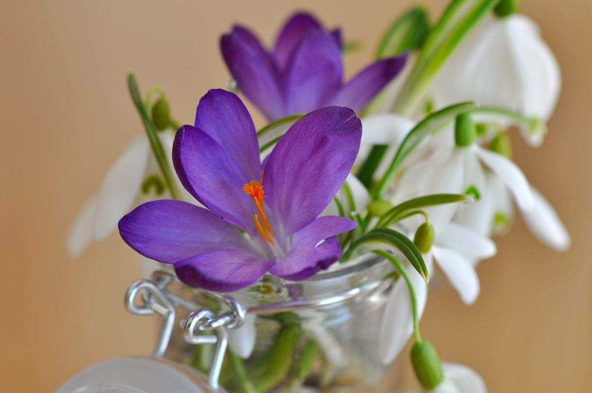 flower, leaf, still life, crocus, plant, petal, blossom, bloom