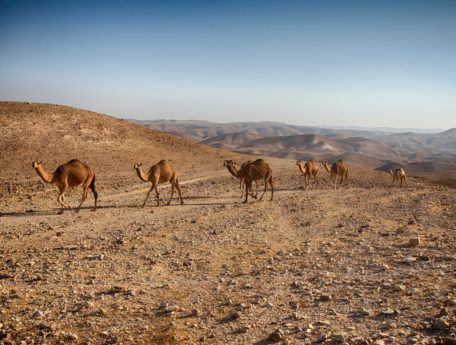kamel, öken, djur, vilda djur, vilda, blå himmel, Utomhus, fält