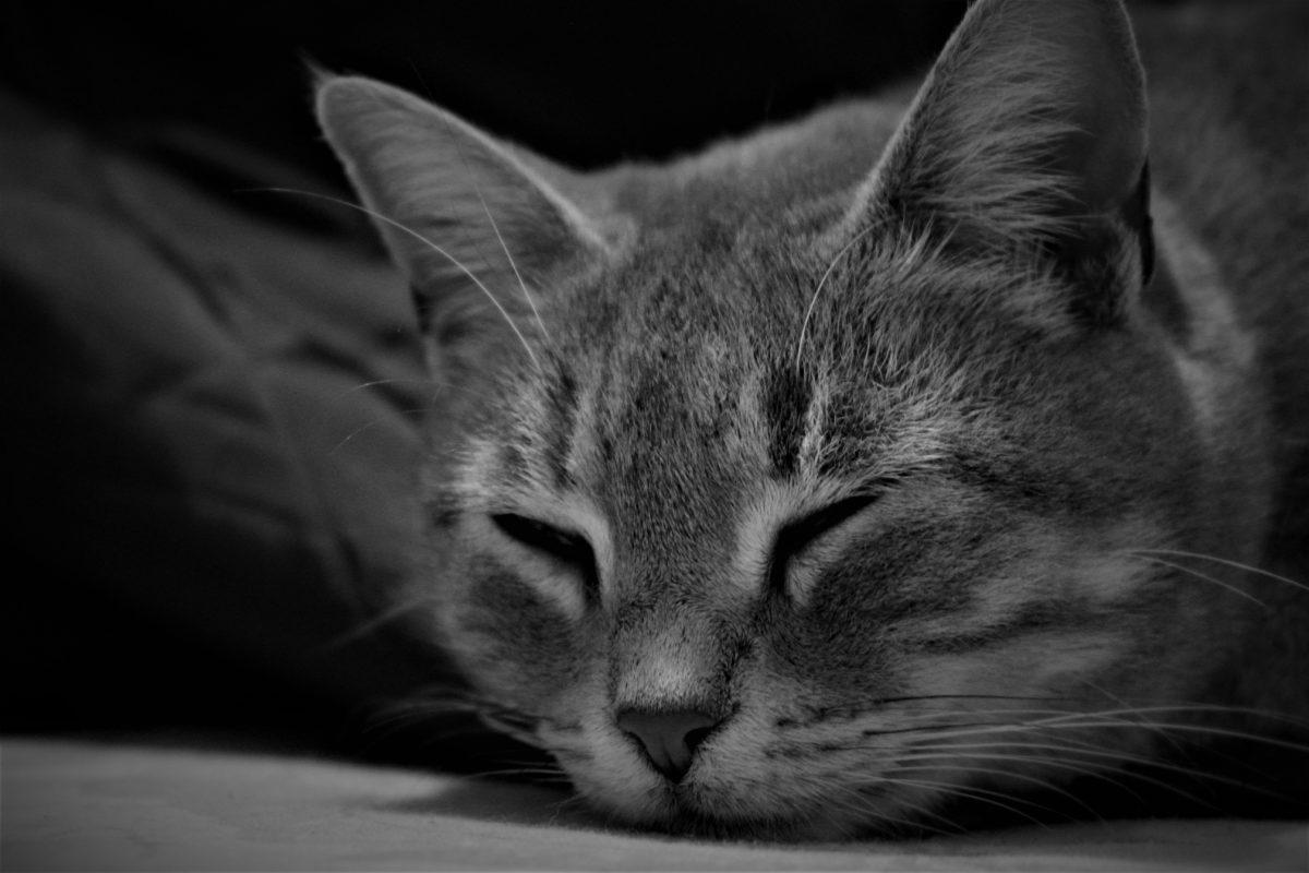 animal, cat, feline, grey, sleep, mustache, gray, muzzle